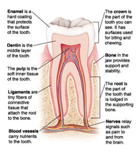 Tooth diagram: the parts of a tooth
